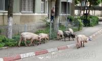 Porcii familiei Dragnea au scapat prin Alexandria.