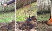 Plantarea pomilor fructiferi si lucrarile din primul an.
