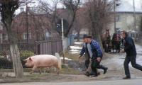Fugaritul porcului.