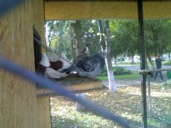 Porumbei in parc