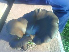 Ciuperca uriasa